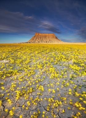 犹他州沙漠,短暂而美丽花朵