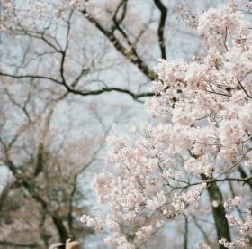 Fumib | 樱花