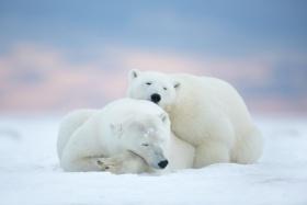 Matthew Studebaker |北极熊