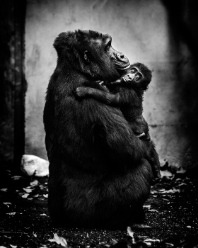 Pawel Bogumil ,灵长类动物的情感