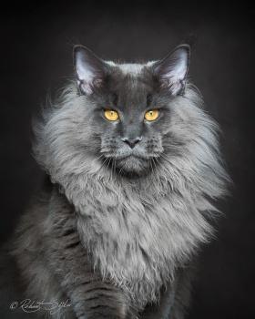 摄影师Robert Sijka |威武的缅因猫
