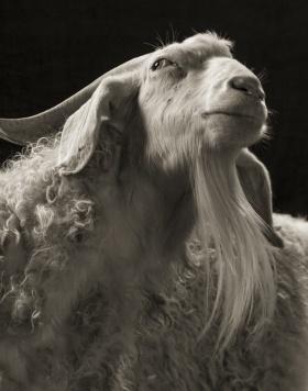 Kevin Horan | 羊的肖像