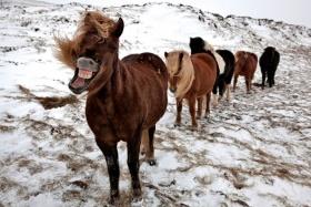 冰岛,野马 | 摄影师Bragi J. Ingibergsson