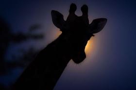 午夜的野生动物 |摄影师Brendon Cremer
