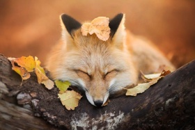狐狸 |摄影师Iza Lyson