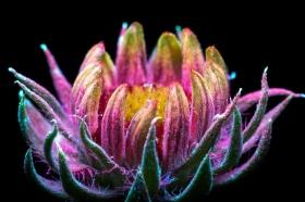 发光的花朵 |Craig Burrows荧光摄影作品