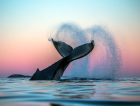 北极鲸 | 摄影Audun Rikarsen