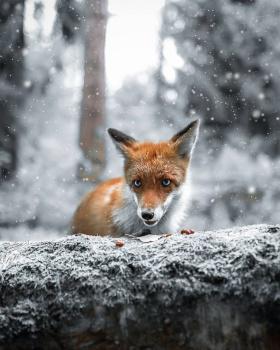 芬兰森林,童话般的动物世界|摄影师Joachim Munter 