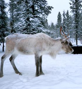 俄罗斯北极不冻港-萨米村庄驯鹿