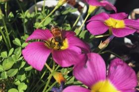 小蜜蜂~酢浆草~