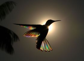 飞舞在阳光下的蜂鸟,产生出的彩虹棱镜效果