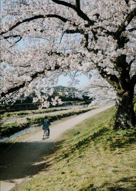 好春光,恍若梦一场!| 京都